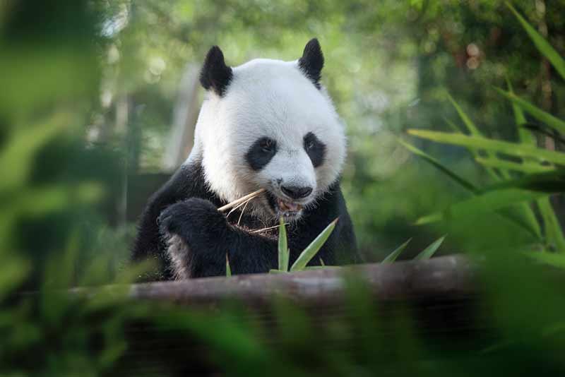 Panda-futtert Bambus am liebsten