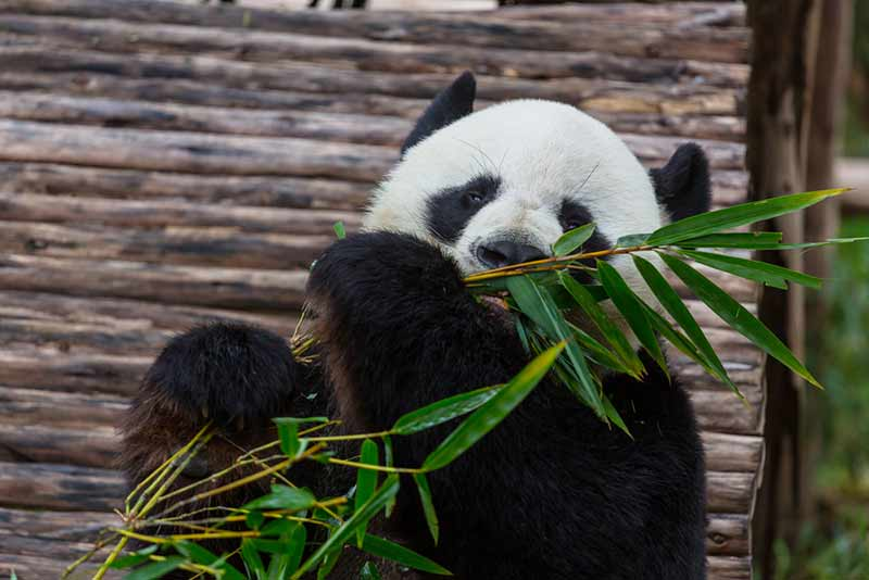 Panda frisst Bambustriebe