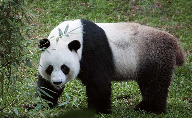 Großbär Panda