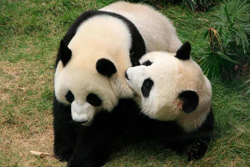 Panda-Familie beim Spielen