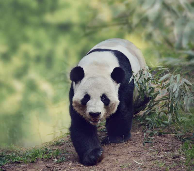 Der Große Panda - ein Großbär