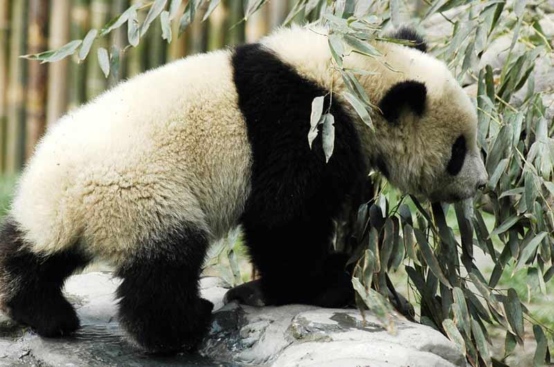 Pandas mögen Schnee