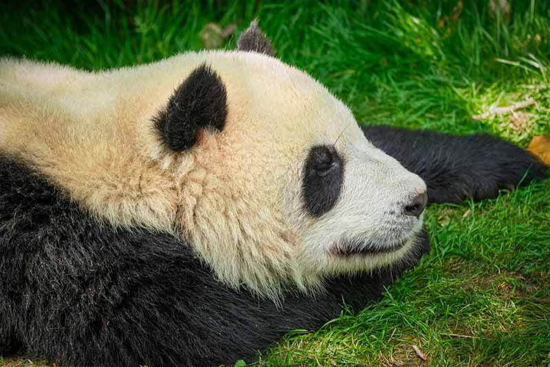 Panda ist müde
