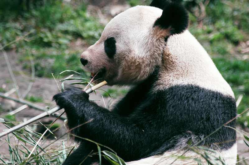 Panda - Dank Pseudodaumen frisst es sich leichter