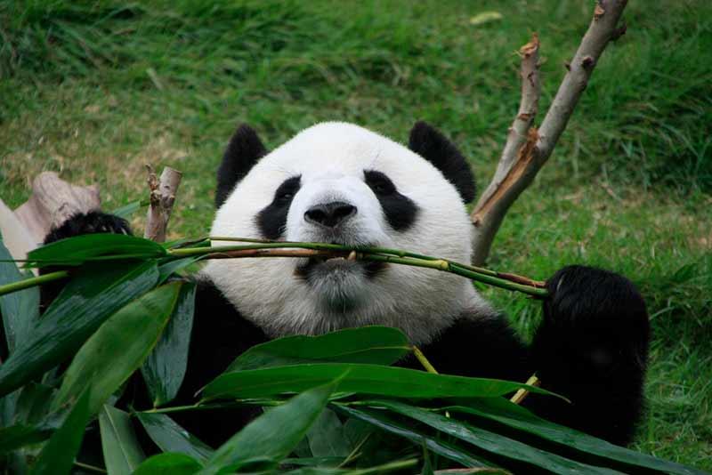 Panda: Der Pseudodaumen hält das Futter fest