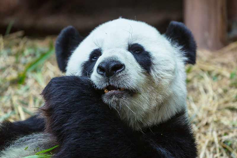 Panda nutzt seinen Pseudodaumen