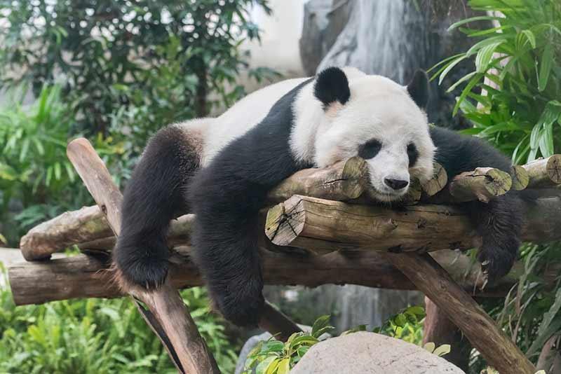 Panda schläft