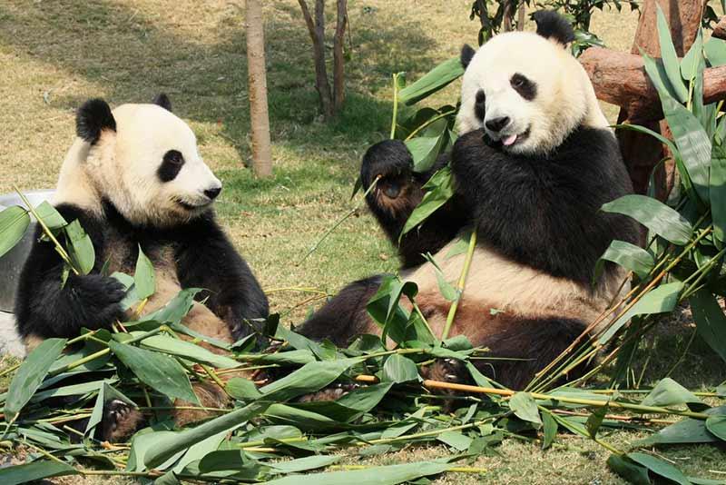 Pandas fressen gern Bambus